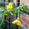pepinillo con su flor-modif